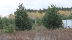 Young pine trees Stock Footage