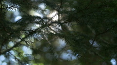 Early morning sun comes up through pine trees at sunrise Stock Footage