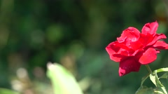 Beautiful Red Rose Closeup with Bokeh Effect 4K Nature Background Stock Footage