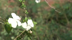 Hibiscus Flowers White Color with Light Reflection Stock Footage