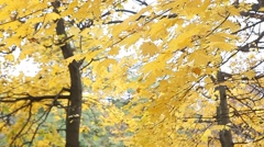 Yellow autumn leaves in the park Stock Footage