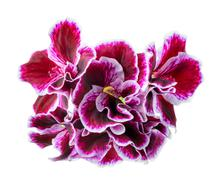Bouquet of lilac geranium or Royal Pelargonium flower is isolated on white ba Stock Photos