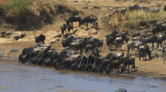 Wide angle view of wildebeest drinking from mara river in kenya Stock Footage