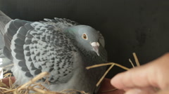 Angry pigeon bird hatching in home loft Stock Footage