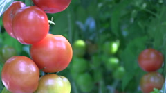 Fresh red tomatoes Stock Footage