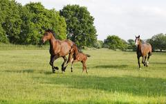 Broodmare gallops with foal Stock Photos