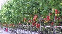 Tomato harvesting Stock Footage