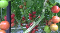 Zoom in to a bunch of colorful tomato hanging on a tomato plant Stock Footage