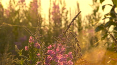 Fireweed Flowers in Dew at Dawn Camera Motion Stock Footage
