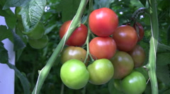 Tomato cultivation in the greenhouse Stock Footage
