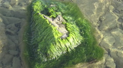 Stone overgrown with algae under water Stock Footage