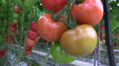 Rich tomato cultivation in the greenhouse Stock Footage