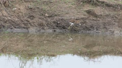Yellow bittern walking along the pond shore Stock Footage
