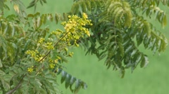 Cassia flower with wind Stock Footage