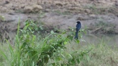 Black drongo bird is resting on the bush Stock Footage