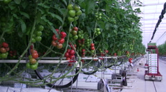 Crop of Tomatoes in the Greenhouse Stock Footage