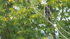 Black drongo with dragonfly around Stock Footage