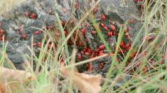 A huge cluster of red beetles on a tree stump Stock Footage