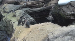 African Penguins in the water, on the rocks Stock Footage