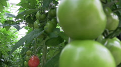Tomato growing in the glasshouse  Stock Footage