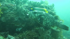 Star puffer, Arothron stellatus hovering in blue water. Stock Footage