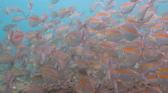Big school of Mackerel Fish underwater Bali Stock Footage