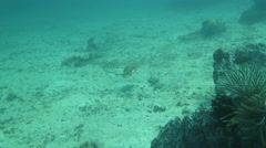 Blue spotted ray swimming away Stock Footage