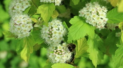 Shaggy bumblebee collects nectar Stock Footage