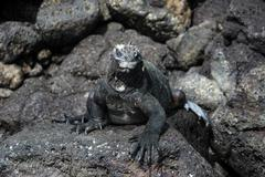 Galapagos Marine Iguana on lava rocks Stock Photos