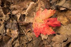 Alone orange maple leaf among other died leaves Stock Photos