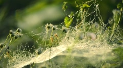 Spider web with raindrops at dawn, beautiful bokeh Stock Footage