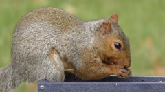 Gray Squirrel (sciurus carolinensis) Stock Footage