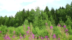 Deciduous forest and blooming Chamerion Stock Footage