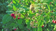 Thickets of raspberry with ripe berries.  Stock Footage