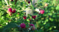 Thickets of raspberry with ripe berries. Small evening breeze Stock Footage
