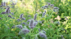 Close-up of a flowering mint plantations.  Stock Footage