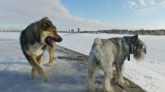 Two dogs playing in the background of a winter landscape Stock Footage