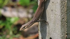 Lizard sitting on a concrete pillar, close up. Sri Lanka Stock Footage