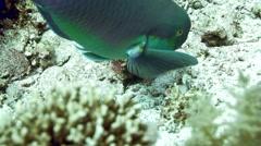 Steephead parrotfish Chlorurus microrhinos Stock Footage