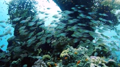 School of Glassfish Parapriacanthus ransonneti inside the wreck of the SS Stock Footage