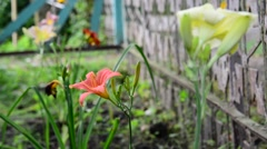 Several flowers daylily in garden near the fence Stock Footage