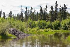 Beaver lodge in riparian biome habitat of Yukon T Kuvituskuvat