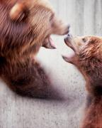Two brown bears Ursus arctos fight motion blur Stock Photos
