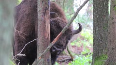 European Bison. Male. Close-up. Stock Footage