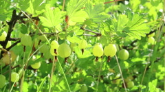 Spiny green gooseberry bush.  Stock Footage