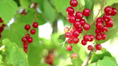 Berries red currant  branch Stock Footage