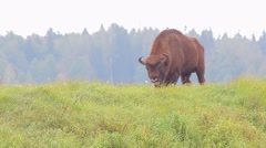 European Bison. Male. Stock Footage