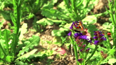 Beautiful plot with a butterfly on blue flowers. Stock Footage