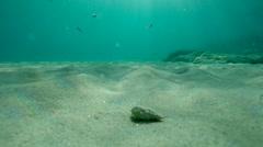 Mollusc moving undersea Stock Footage