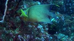 Semicircle angelfish (Pomacanthus semicirculatus) Stock Footage